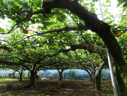 【梨狩り】豊水梨を詰め放題。
