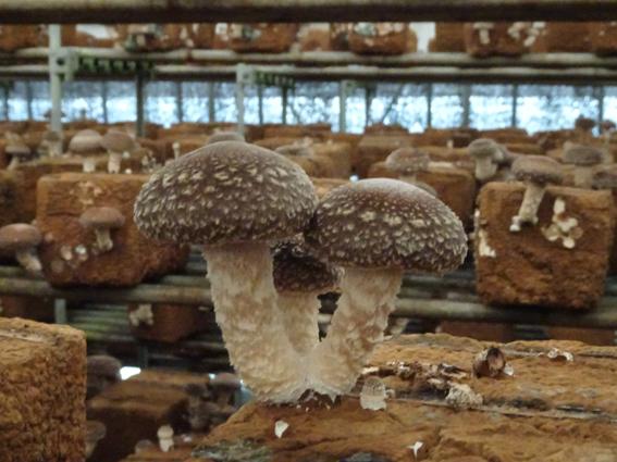【佐倉きのこ園】秋の味覚、椎茸狩へ!!冬の極厚椎茸を初めて食す。