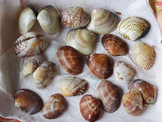 潮干狩りで拾ったアサリとハマグリの貝殻を除菌漂白。工作に使おうと思います。
