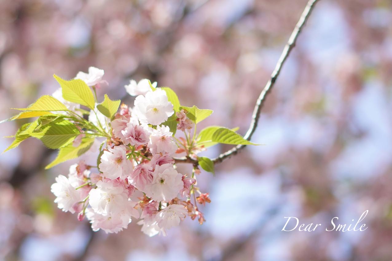 春休みの散歩と桜。